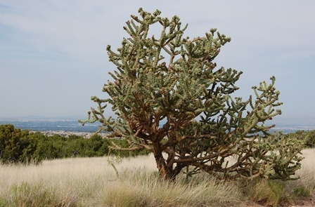 Cylindropuntia_sp_03