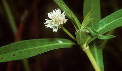 Alternanthera_philoxeroides_01