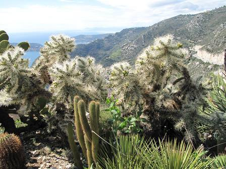 Cylindropuntia_sp_02