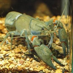 Cherax_destructor_01
