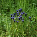 Muscari neglectum - Photo (c) jaimebraschi, algunos derechos reservados (CC BY-NC)