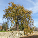 Quercus_faginea_subsp._faginea._20161207_058_m__cenicientos__ermita_de_la_virgen_del_roble