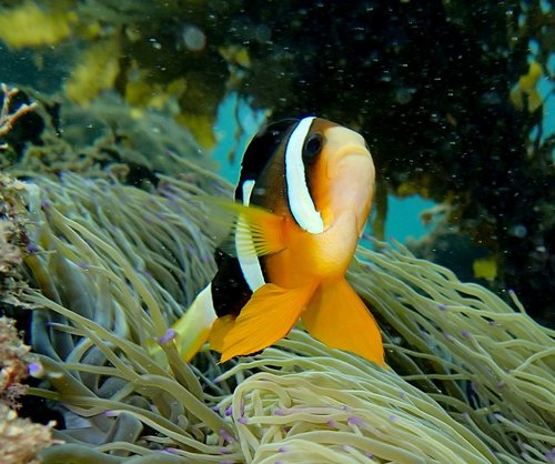Amphiprion_clarkii_pa040331
