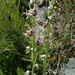 Ophrys_scolopax.isanchez1527071026870